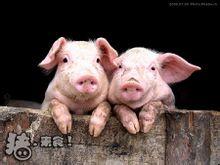 异常死亡的猪应该怎么处理?