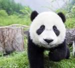 为什么大熊猫是国宝?