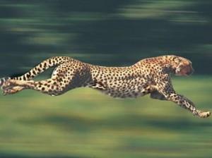 为什么猎豹不是豹?