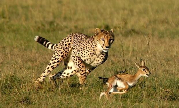 最后,猎豹不是豹,它属于猫科动物,是猎豹属唯一一个物种.