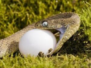 蛇为什么能吞食比自己大好几倍的东西?