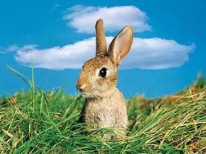为什么兔子不吃窝边草