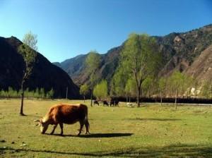 悠然吃草的牛