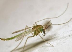 雄性蚊子的口器像小鸡毛掸子