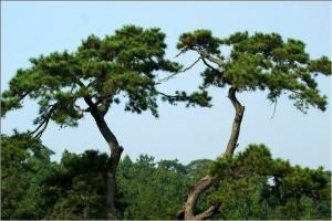 为什么山上的松树特别多