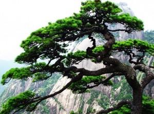 山上的松树