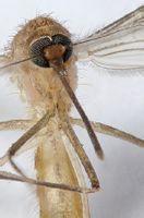 雌性蚊子吸血是为了幼卵的发育
