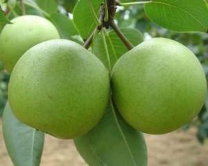 十万个为什么-为什么中国果树种类最多?