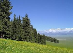 么美丽的松树