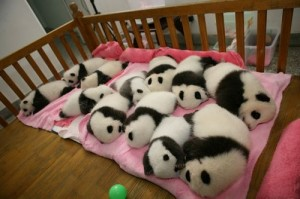 可爱的熊猫宝宝