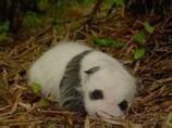 未睁眼的大熊猫幼仔