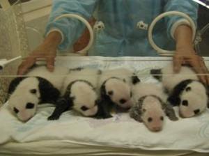 人工授精繁殖的熊猫宝宝