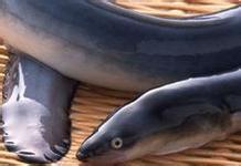 为什么不能吃死鳝鱼