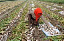 农民在收货大蒜