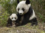 熊猫母子3