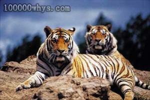 吃人虎和伤人虎