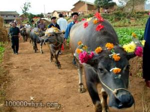 为什么仡佬族人要给牛过生日?