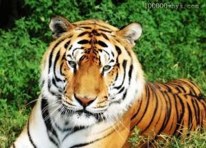 老虎一般不吃人