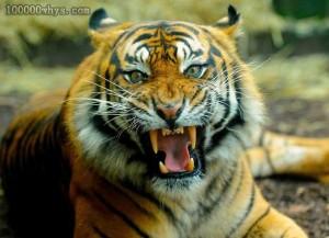 老虎吃人吗