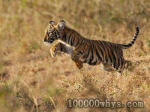 老虎被列为被珍稀动物