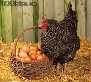 母鸡下蛋需要公鸡吗?