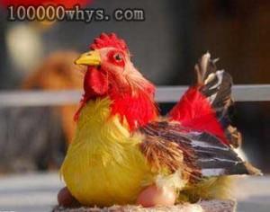 公鸡打鸣母鸡下蛋