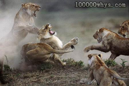 动物为什么爱打架