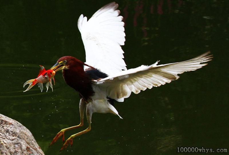 谁是最早吃鱼的鸟
