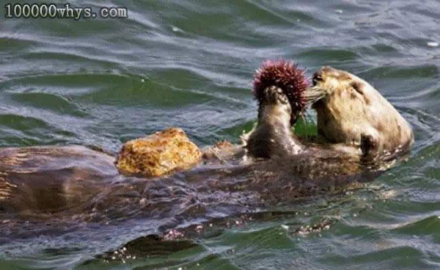海獭老带着块石头做什么