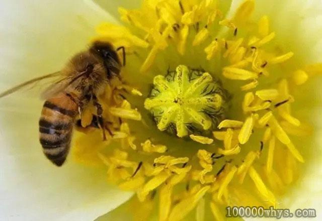 蜜蜂为什么要酿蜜