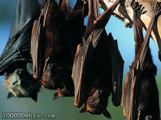 蝙蝠为什么要倒挂着休息
