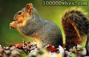 松鼠的大尾巴有什么作用
